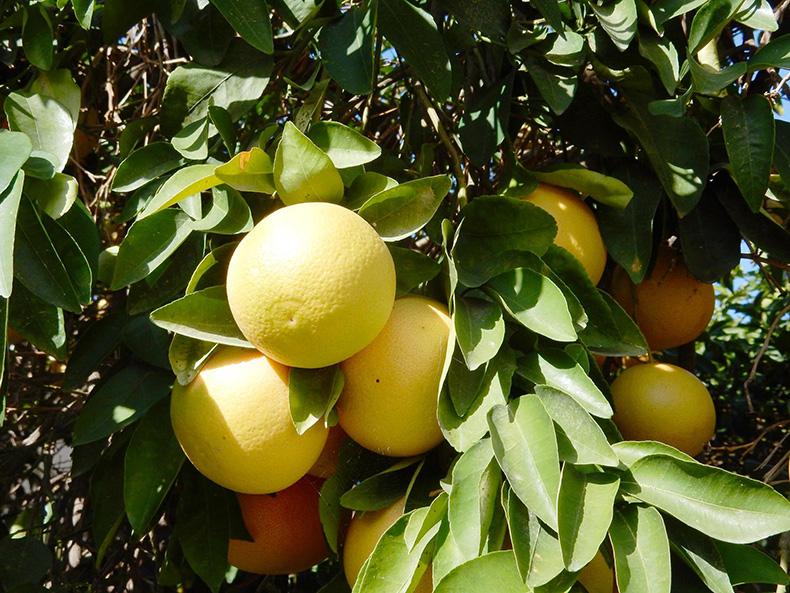עץ תפוזים בכניסה לבית
